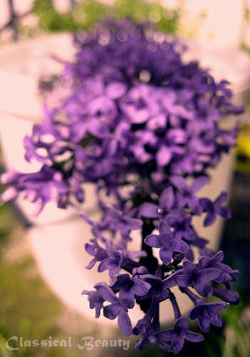 violeta 4